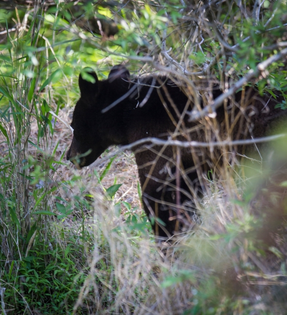 bear in thicket