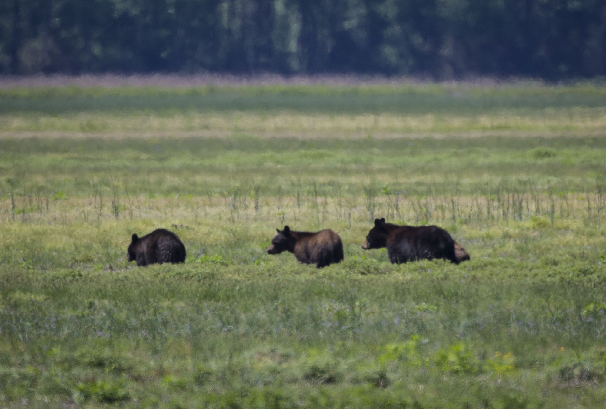 bears in field