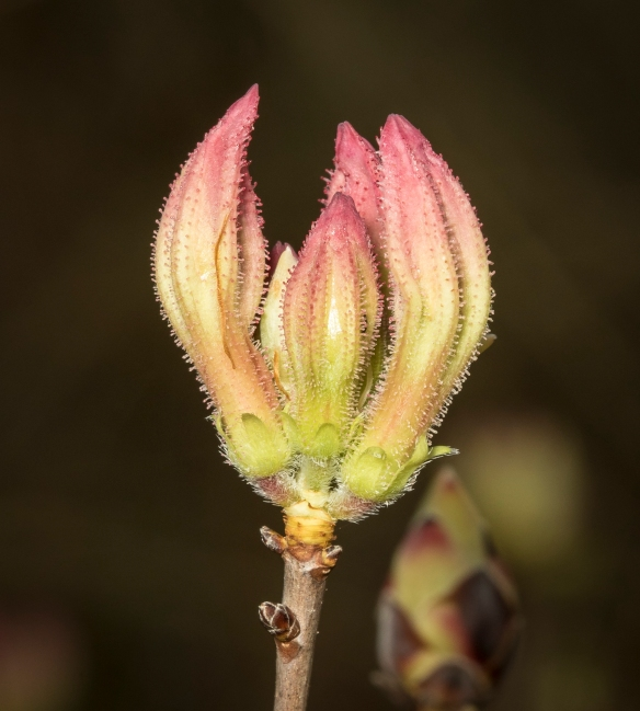 Flower buds of dwarf azalea