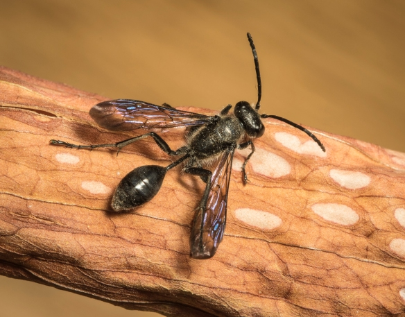 Grass-carrying wasp 1