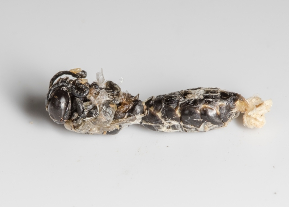 Grass-carrying wasp pupa
