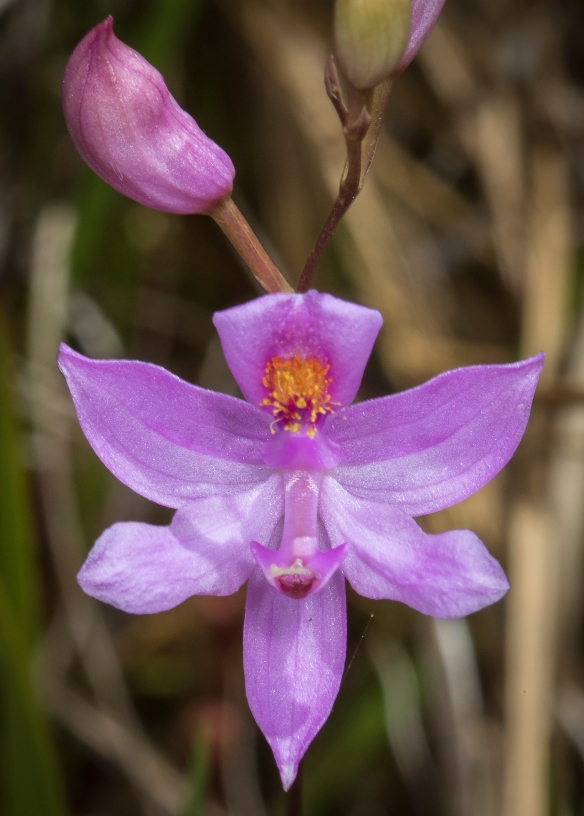 grass pink orchid flower