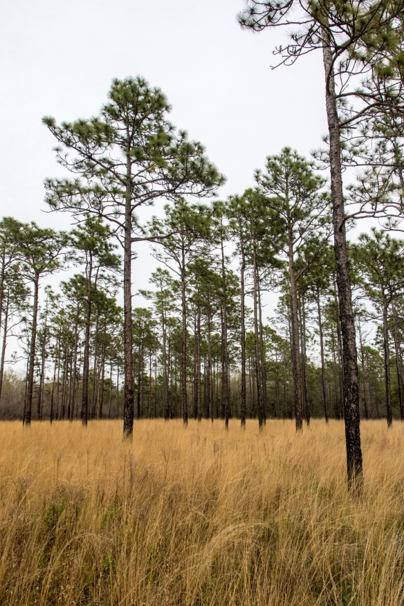 Longleaf pine savanna