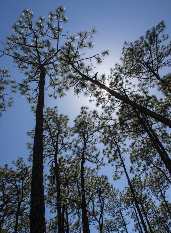 Longleaf pines and sunlight