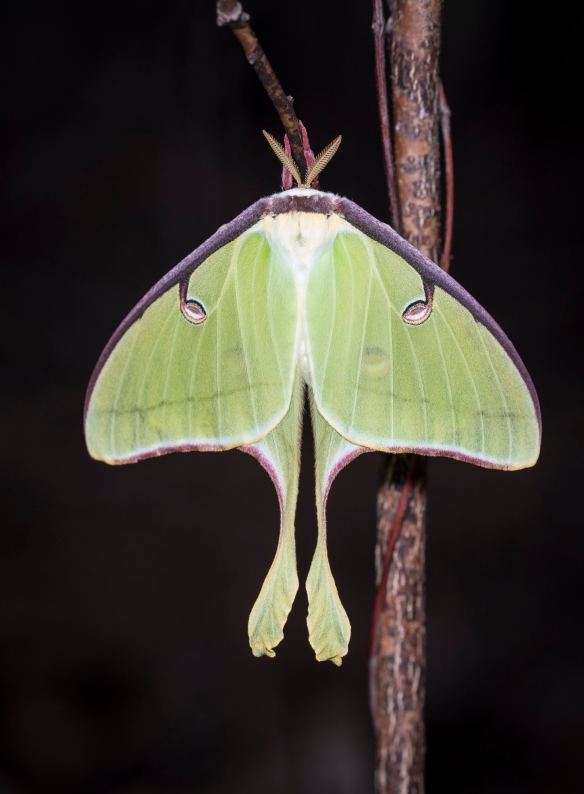 Luna moth freshly emerged front view