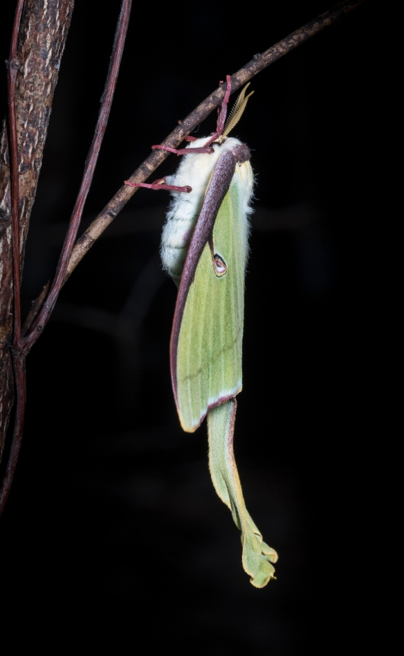 Luna moth freshly emerged  side view
