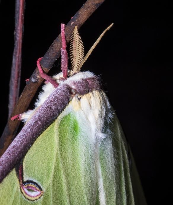 luna moth head close up