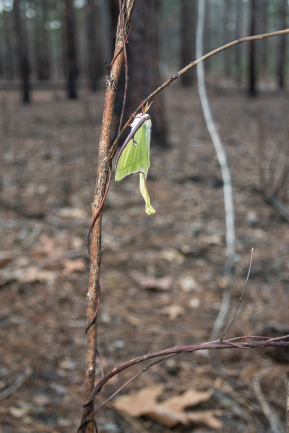 Luna moth in burned area at Jones Lake