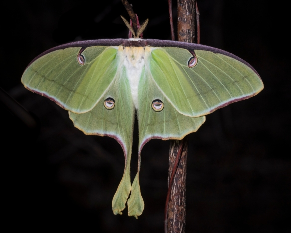 Luno moth with wings spread