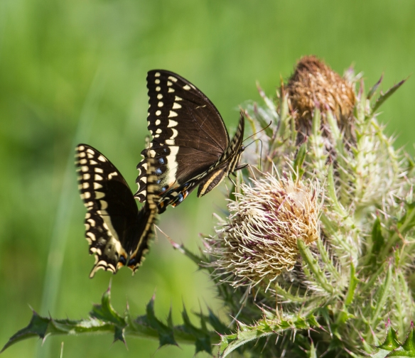 palamedes swallowtail mating dance