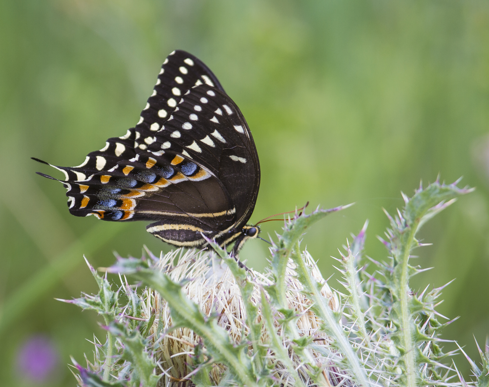 palamedes swallowtail on thistle