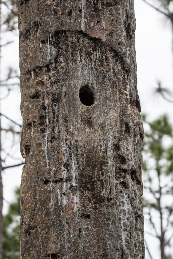Red-cockaded woodpecker nest cavity