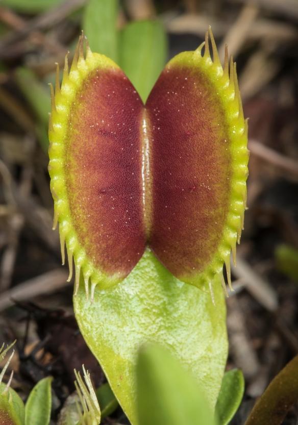 single flytrap trapo