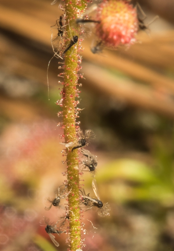 sundew flower stalk with insects 1
