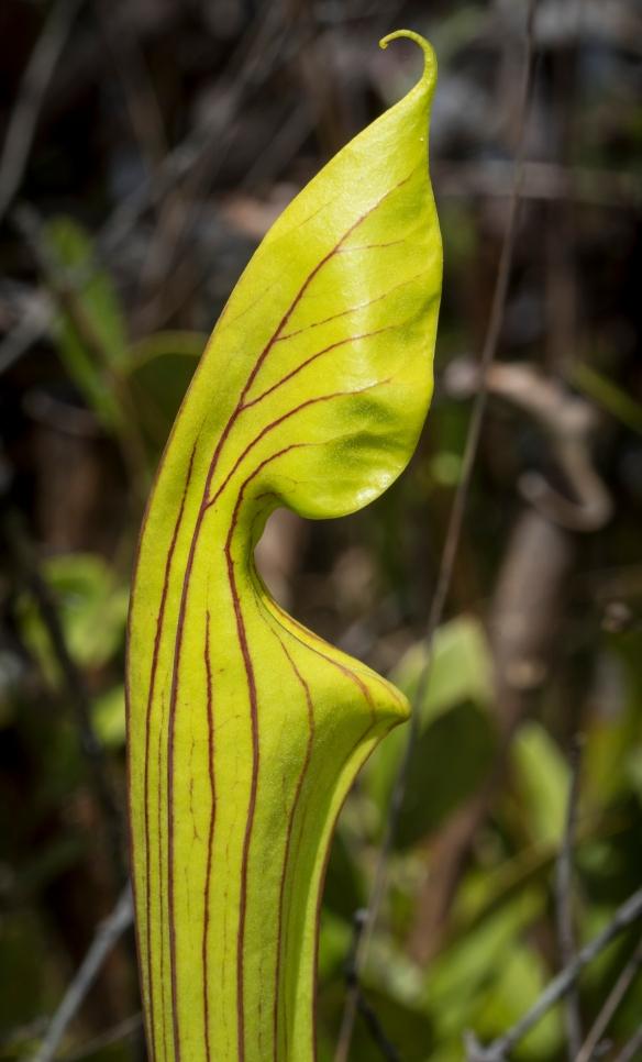 unopened S flava leaf
