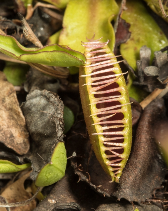Venus flytrap partially closed