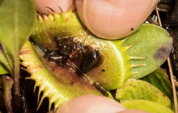 Flytrap prey