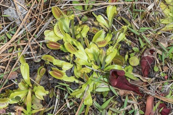 Venus flytrap cluster
