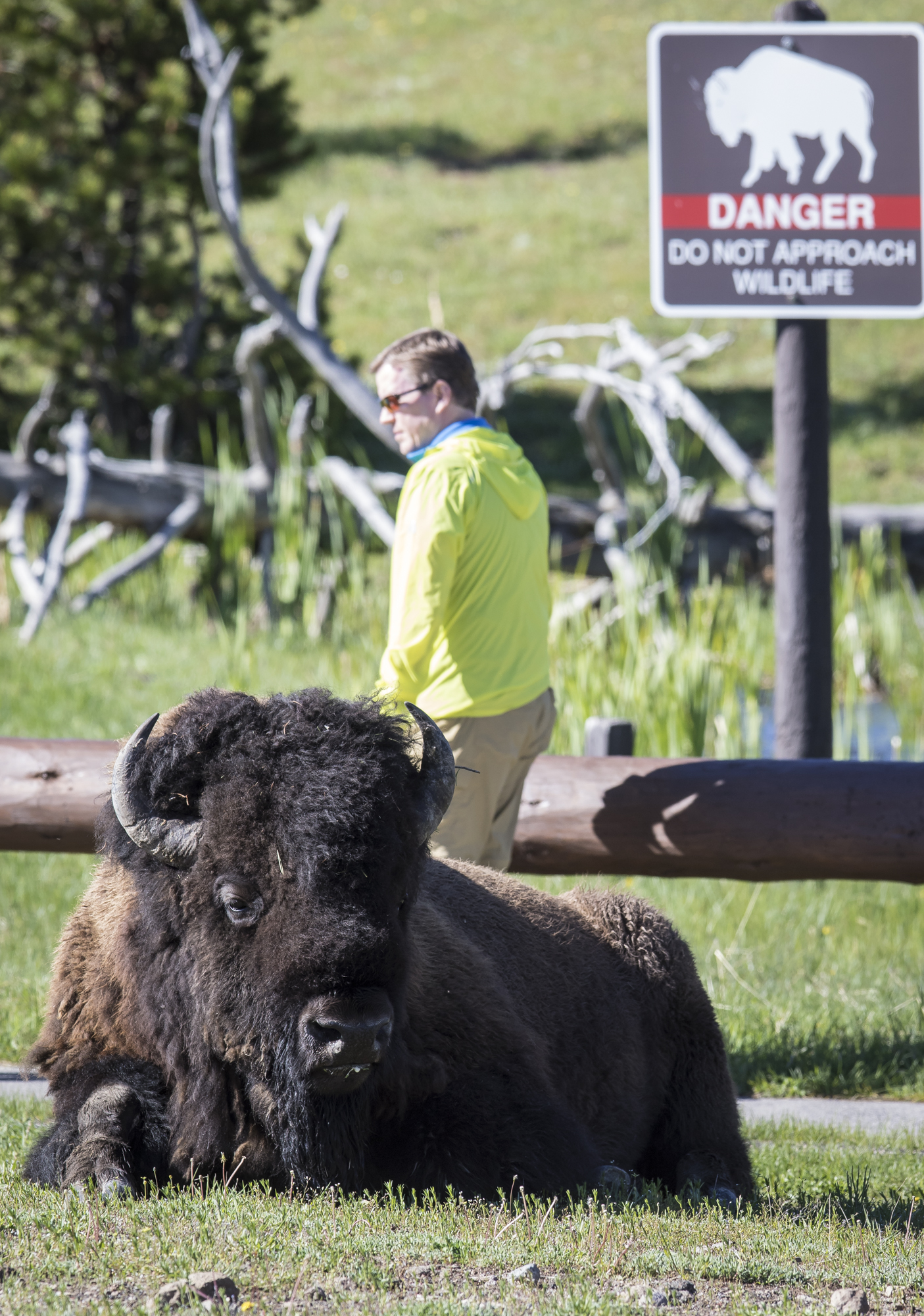 bison and person