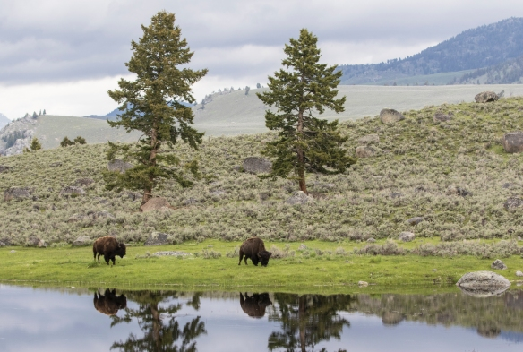bison and reflection