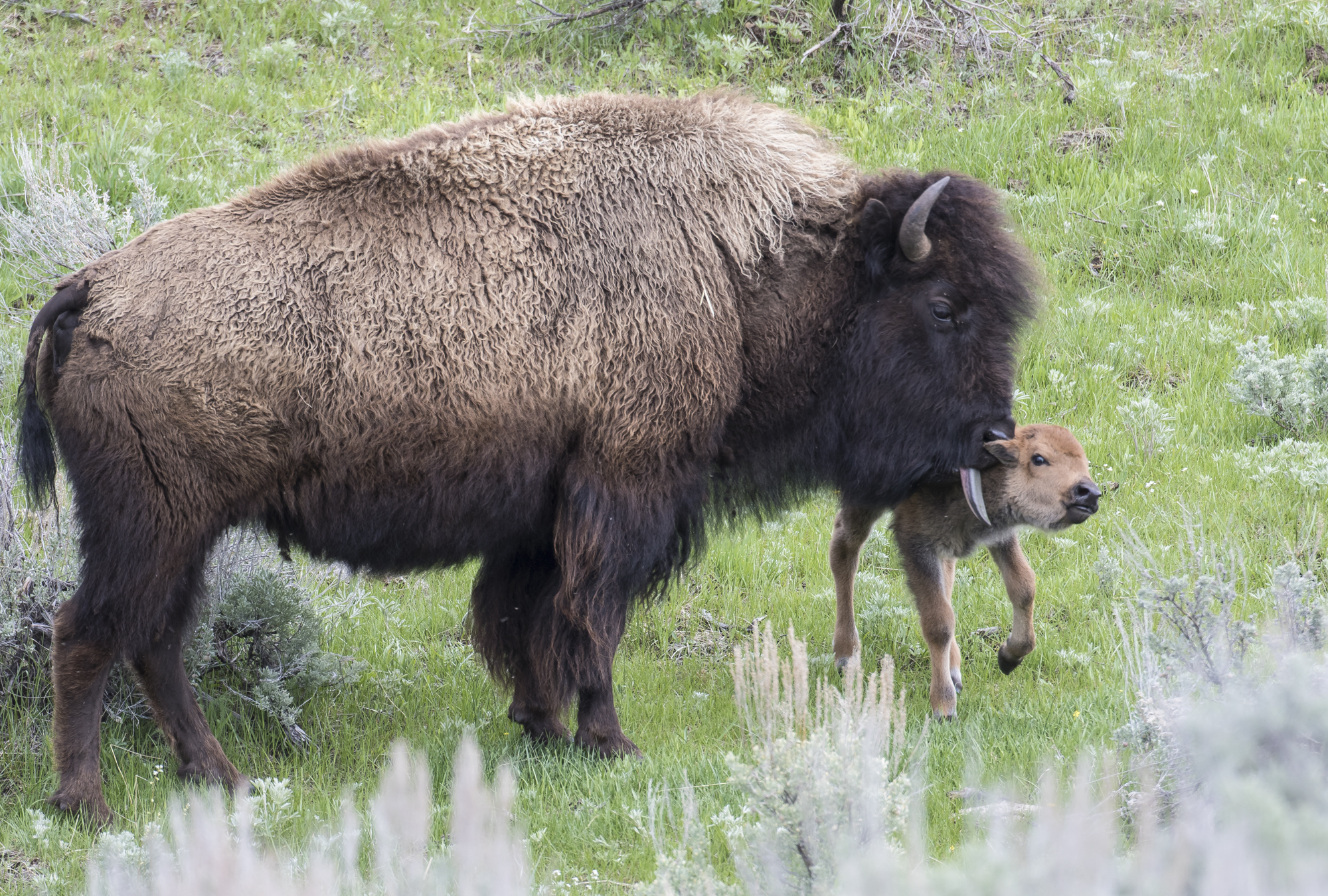 bison cown and calf