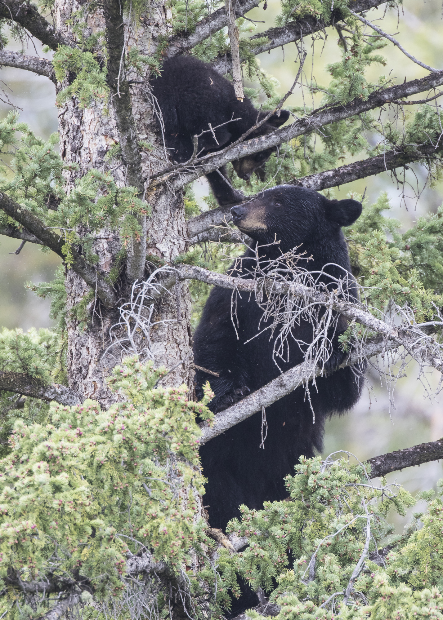 Black bear and cub in tree