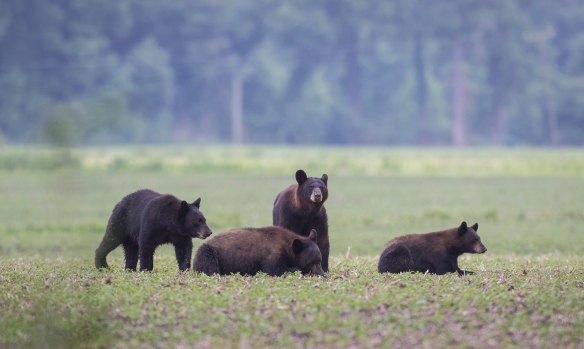 black bear family of 4