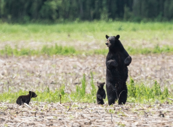 Bl;ack bear sow with cubs standing 1