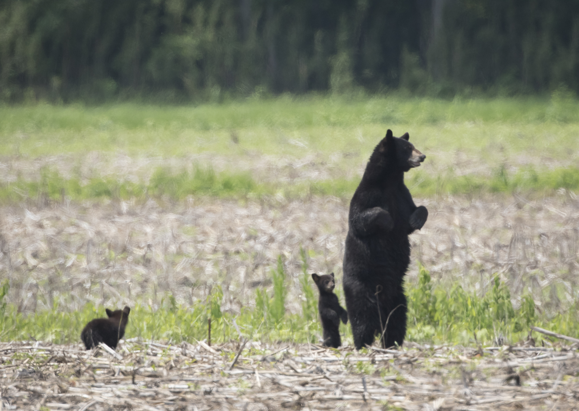 Bl;ack bear sow with cubs standing