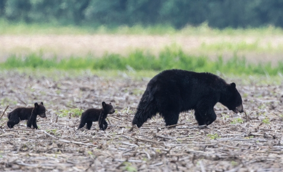 black bear sow with two cubs
