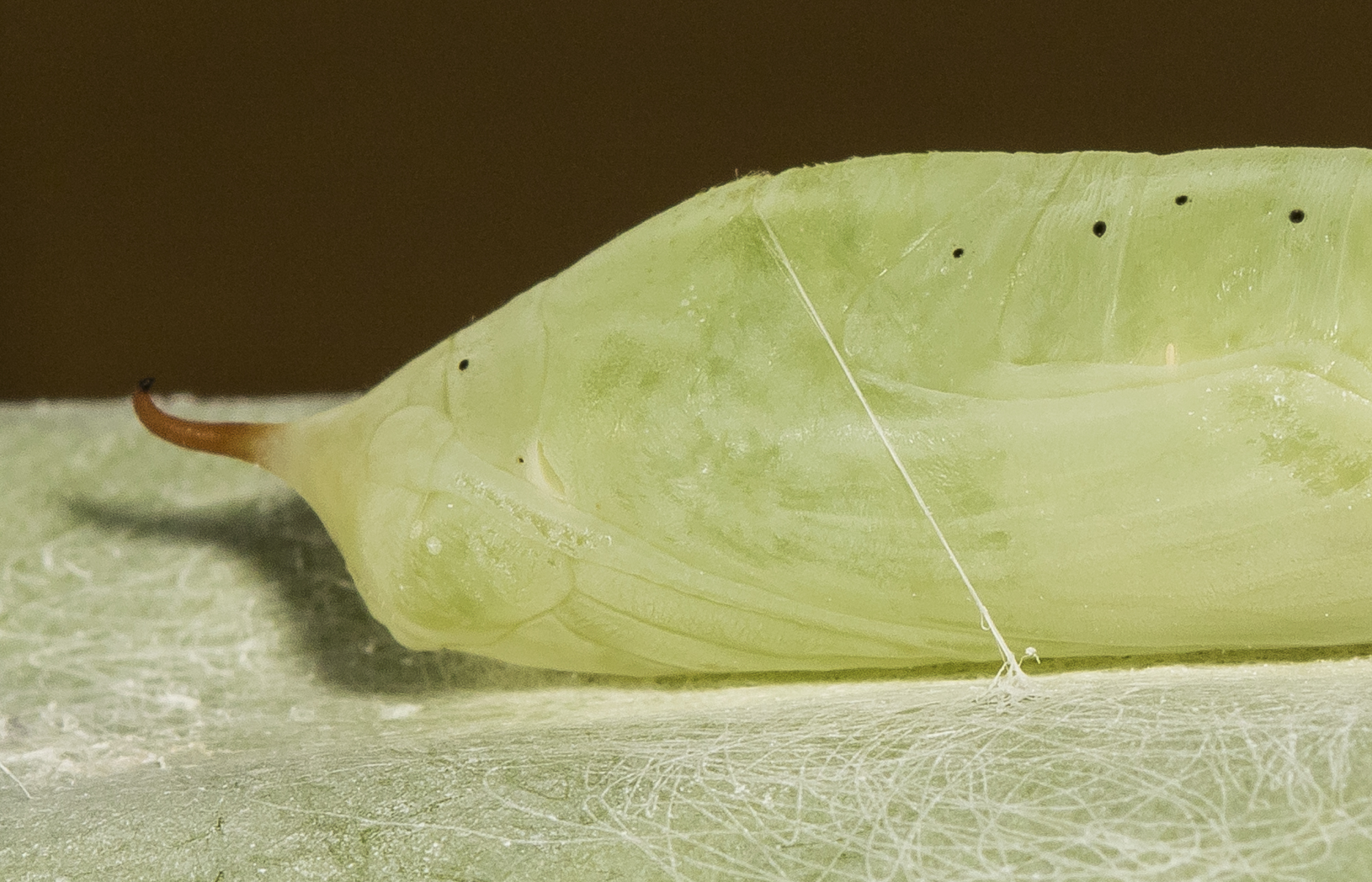 Brazilian skipper chrysalis close up of head region