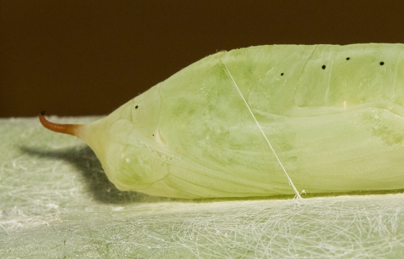 Brazilian skipper chrysalis close up of head region