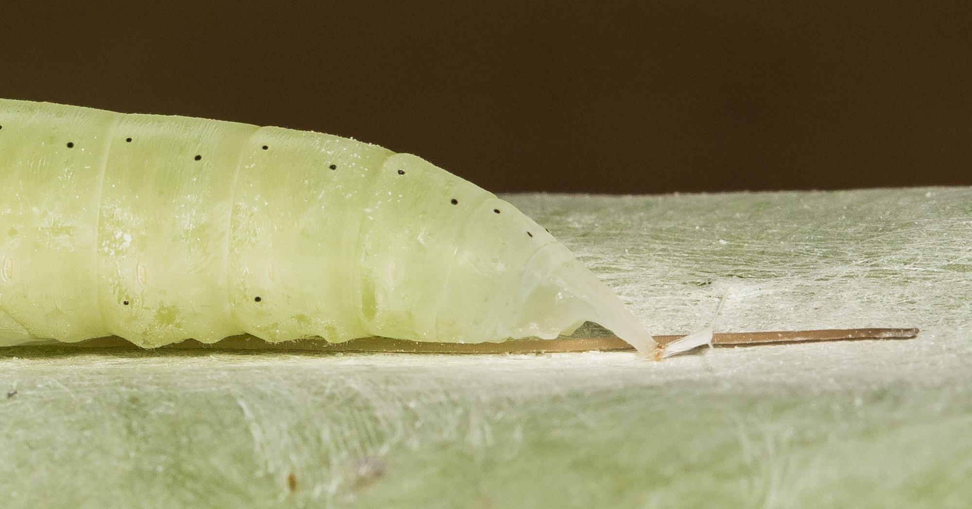Brazilian skipper chrysalis close up of tail region