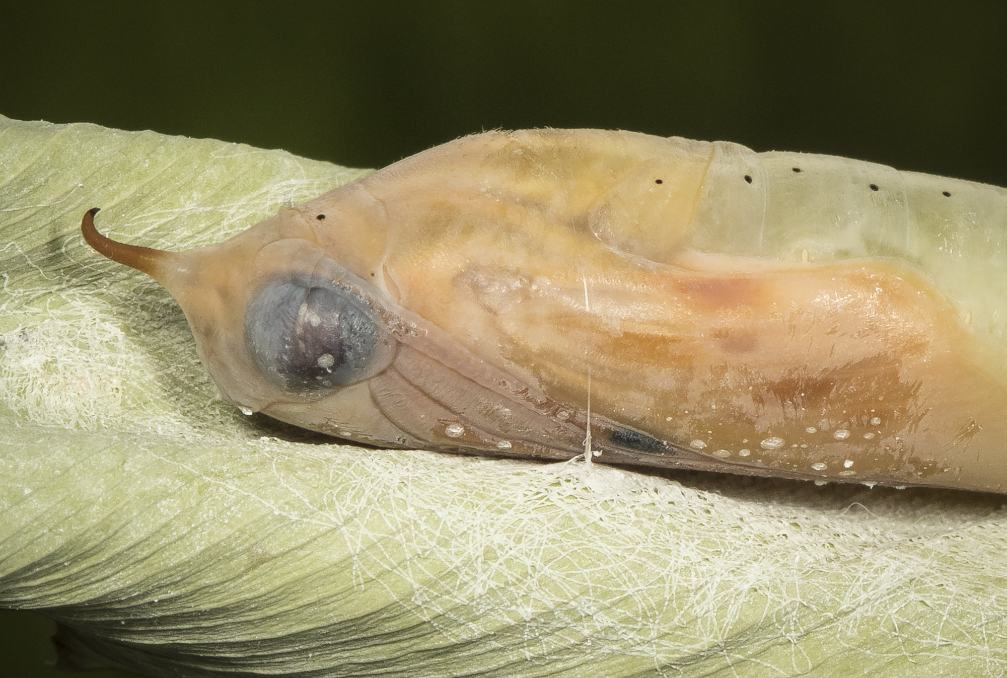Brazilian skipper chrysalis closeup right before emergence