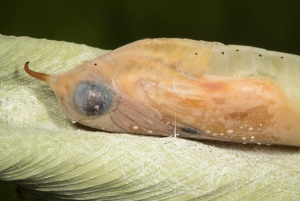 Brazilian skipper chrysalis closeup right before emergence