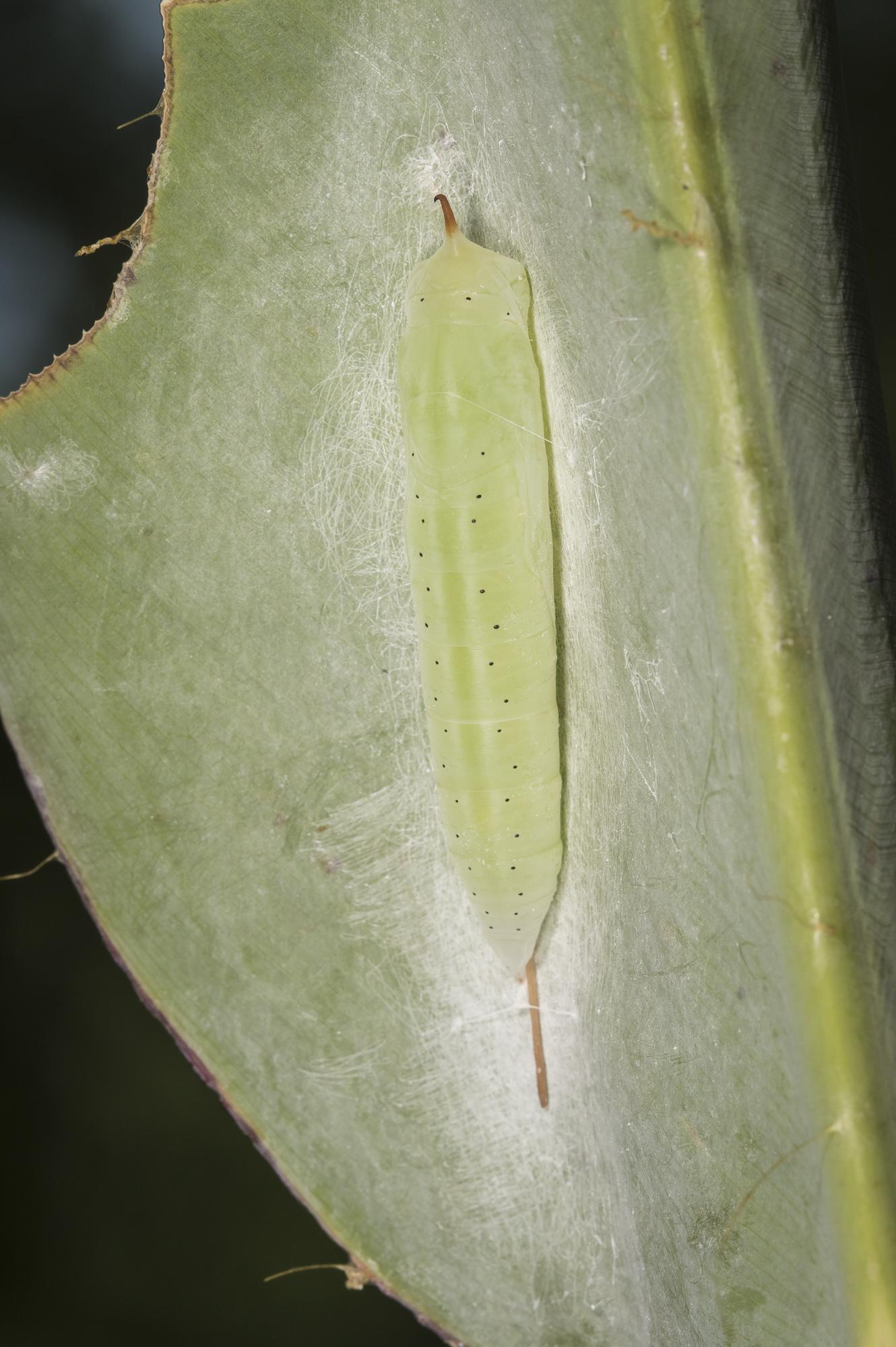 Brazilian skipper chrysalis in rolled leaf