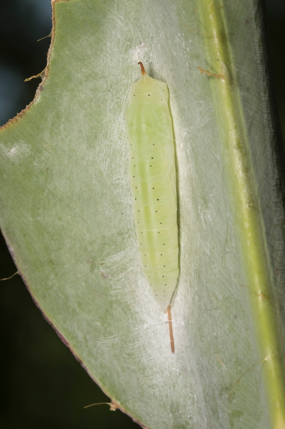 Brazilian skipper chrysalis in rolled leaf