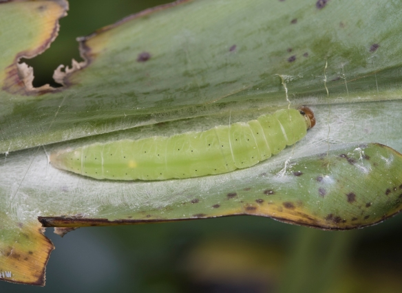Brazilian skipper larva in powdery alligator flag (Thalia)