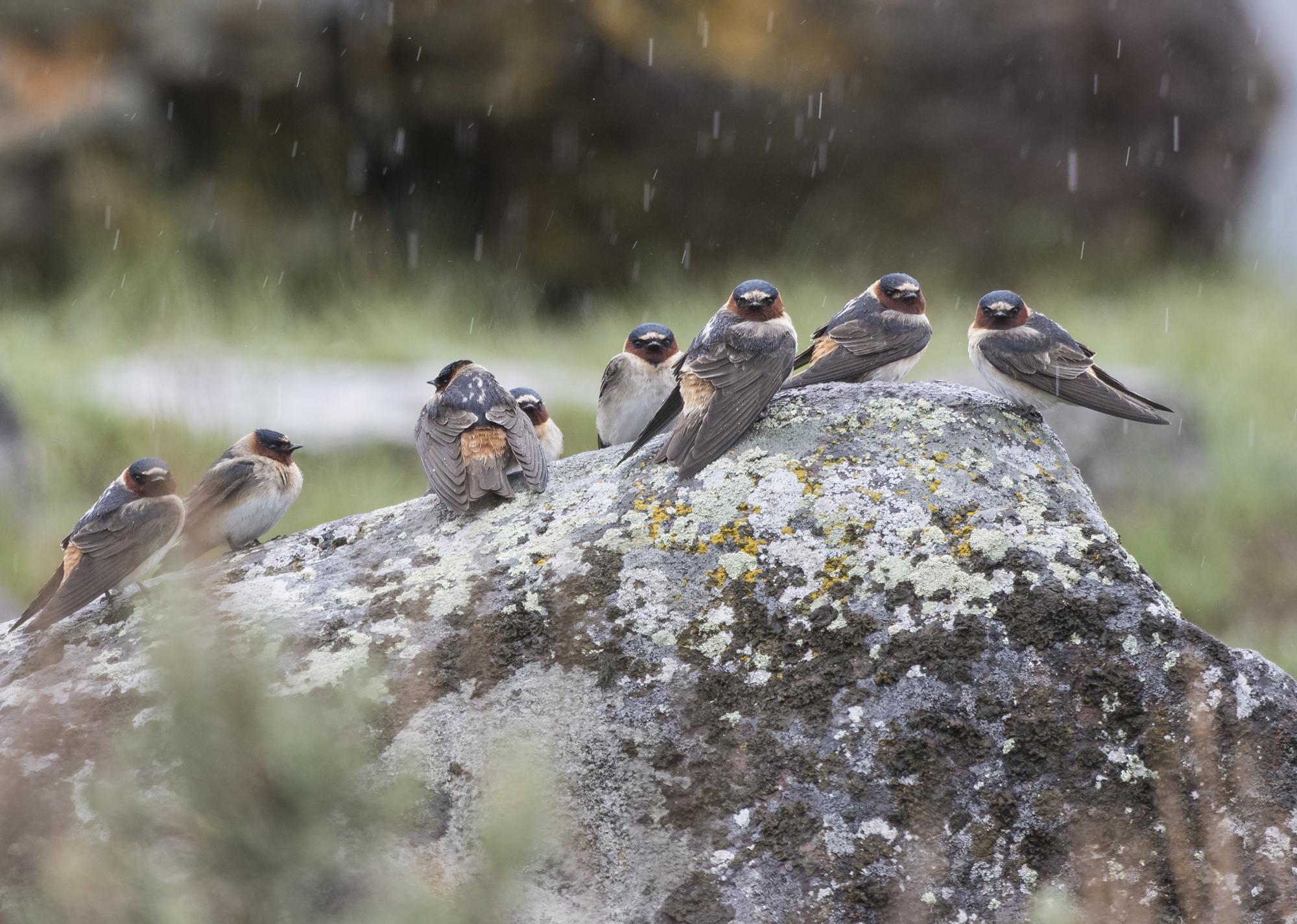 Cliff swallows in rain