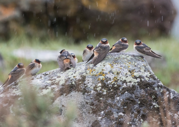 Cliff swallows in rain