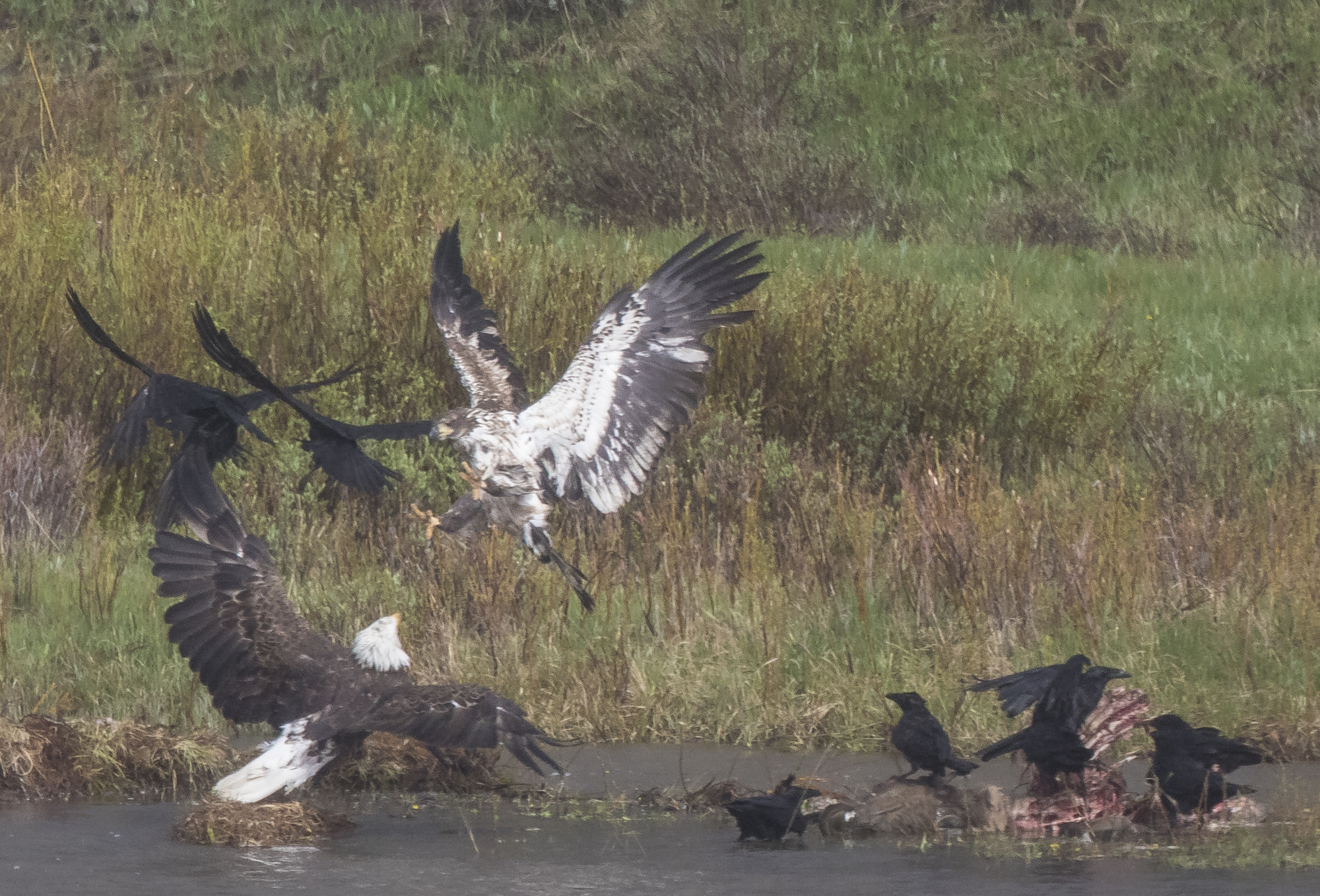 elk carcass and birds