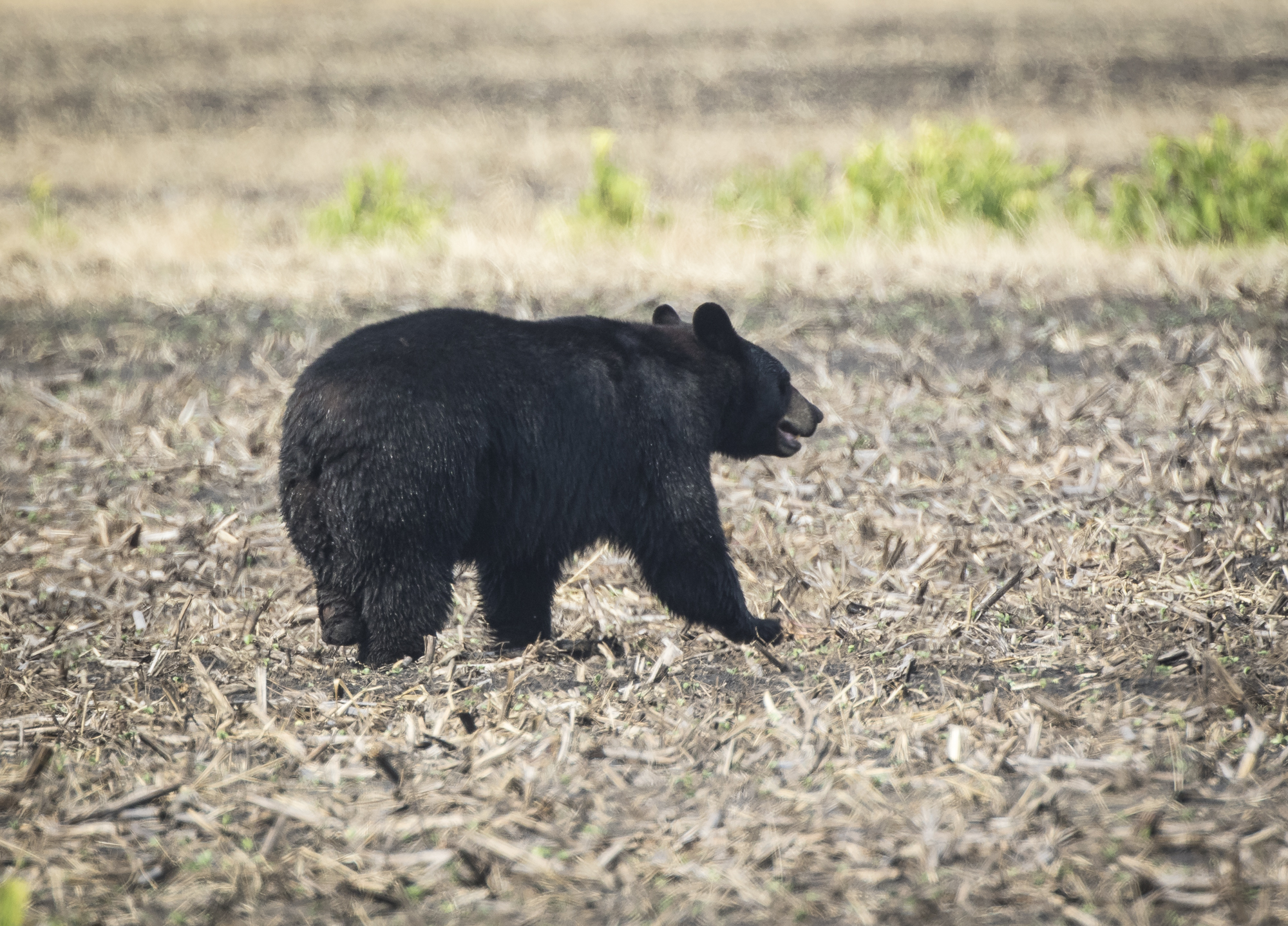 female black bear with missing foot