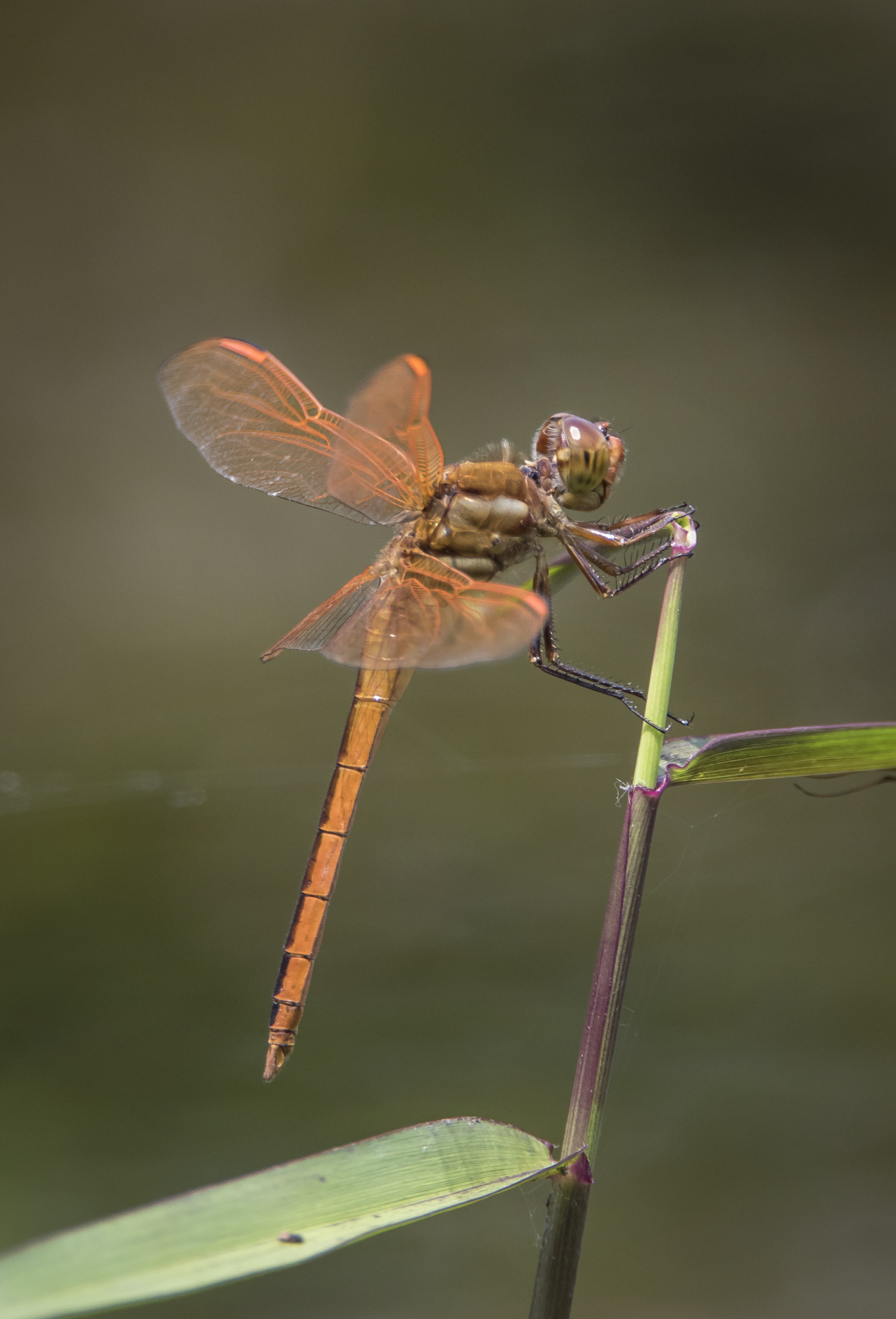 Golden-winged skimmer, male