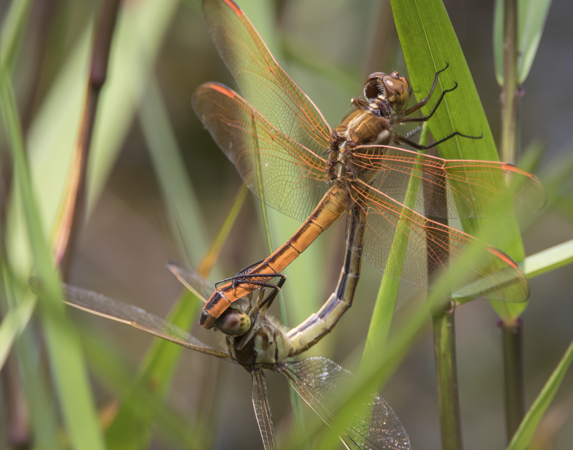 Golden-winged skimmers in wheel position