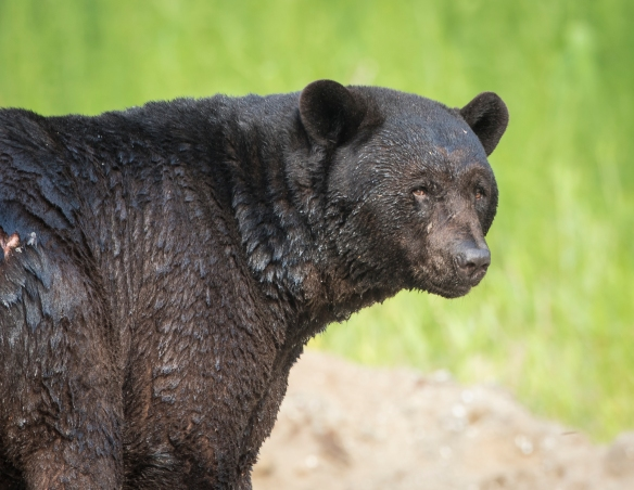 Huge black bear boar after a dip