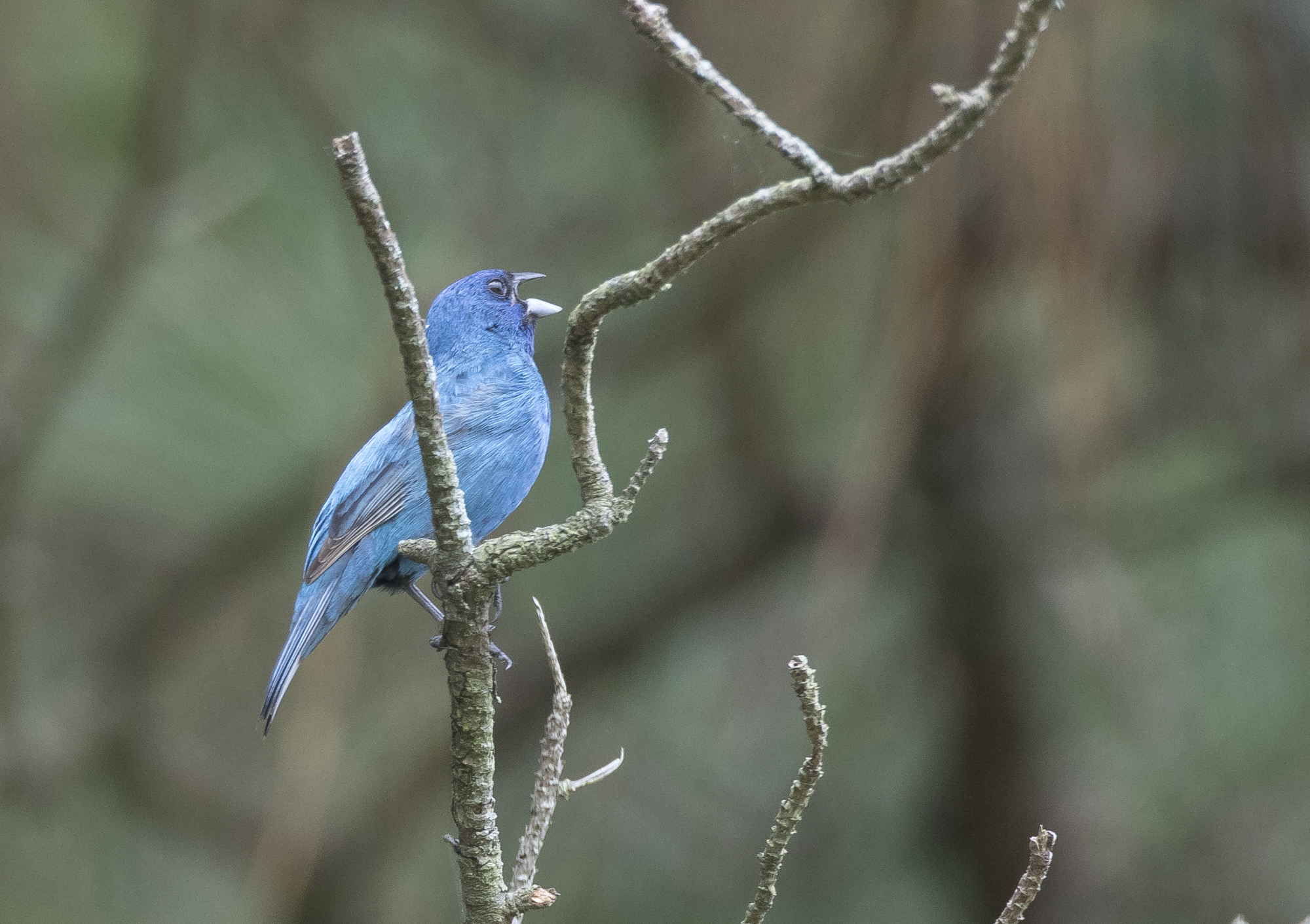 indigo bunting male singing