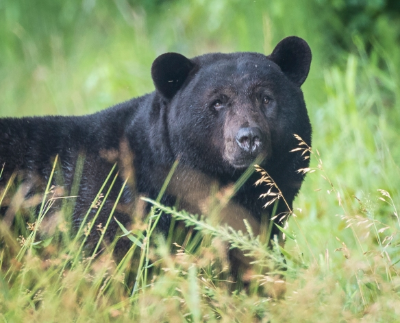 Large male black bear close up