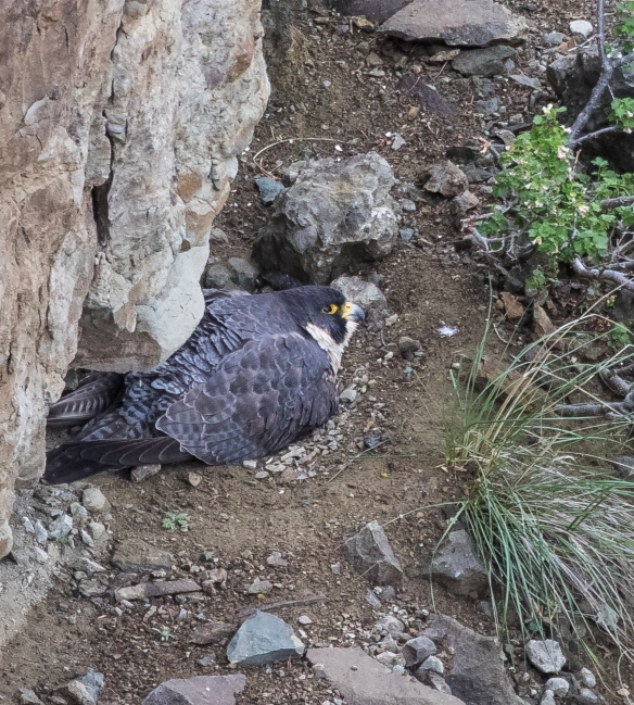 Peregrine on nest close view