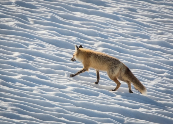 red fox on snow 1