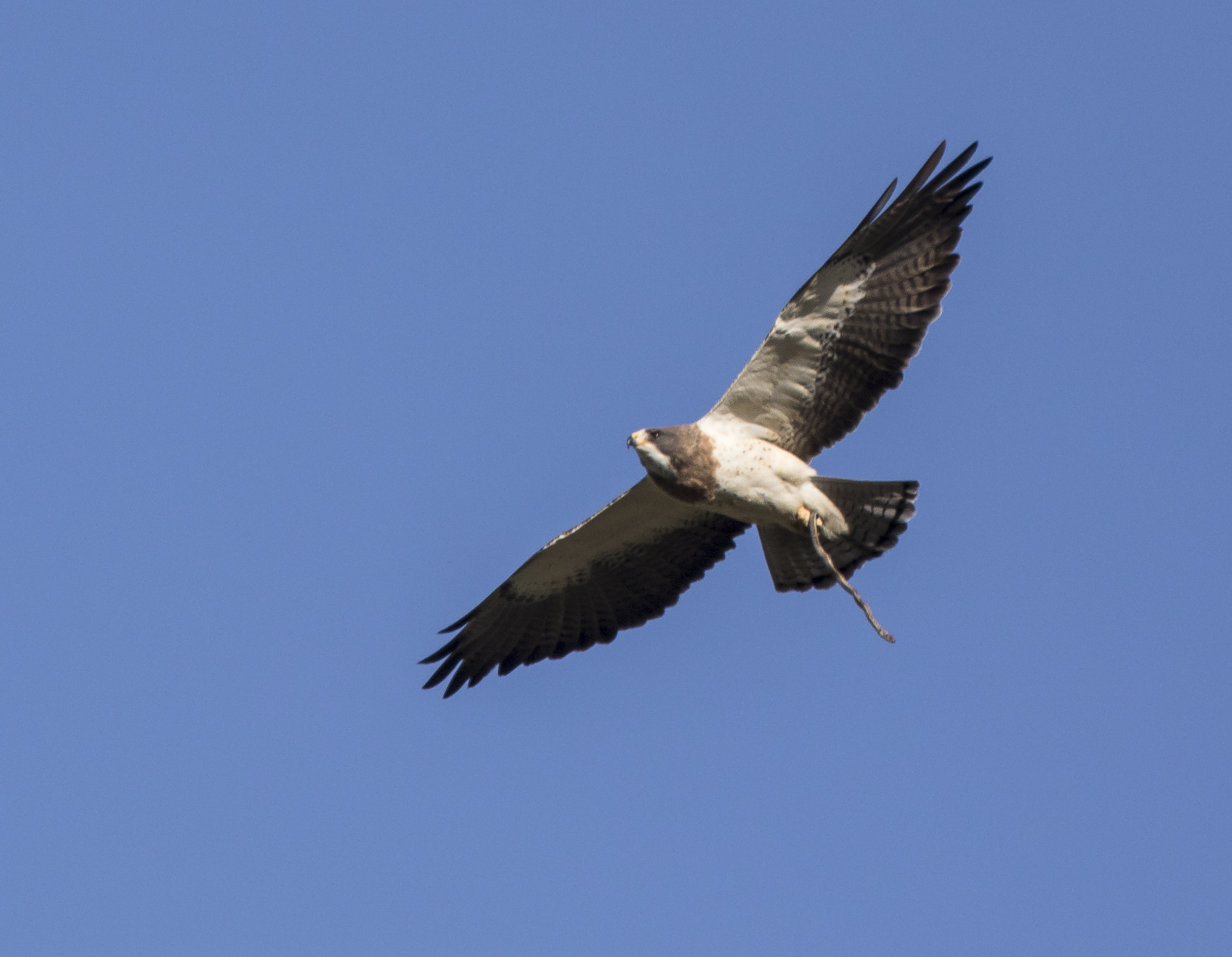 Swainson's hawk with snake
